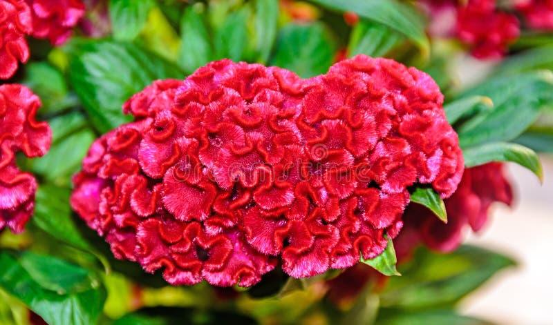 Zmrok - czerwony celozi cristata kwitnie genus celozja, grzebionatka obrazy royalty free