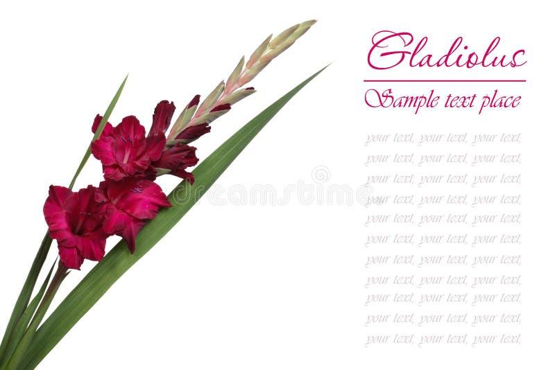 Zmrok - czerwony gladiolus odizolowywający fotografia stock