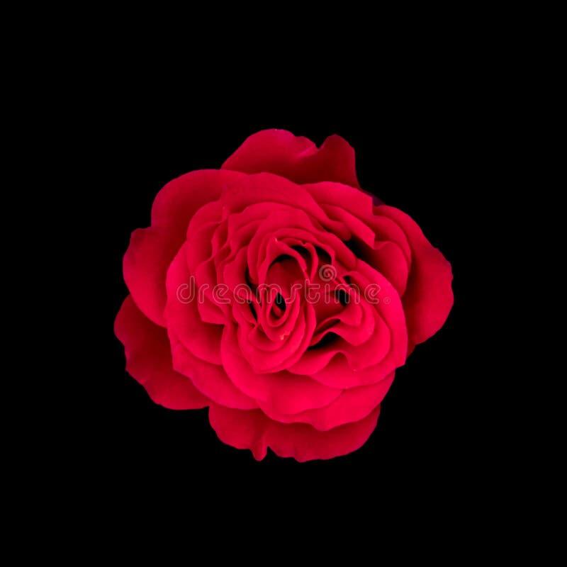Zmrok - czerwonych róż tło, rewolucjonistki róża odizolowywająca na czarnym tle, kartka z pozdrowieniami z luksusowe róże, wizeru obraz stock