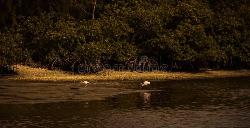 Zmrok na Wielkim Egret i ibisie fotografia royalty free