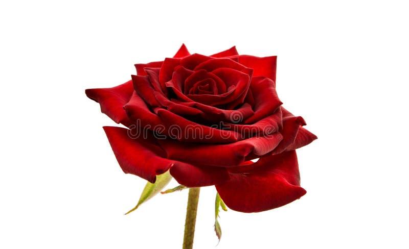 Zmrok - odizolowywająca czerwieni róża obraz stock
