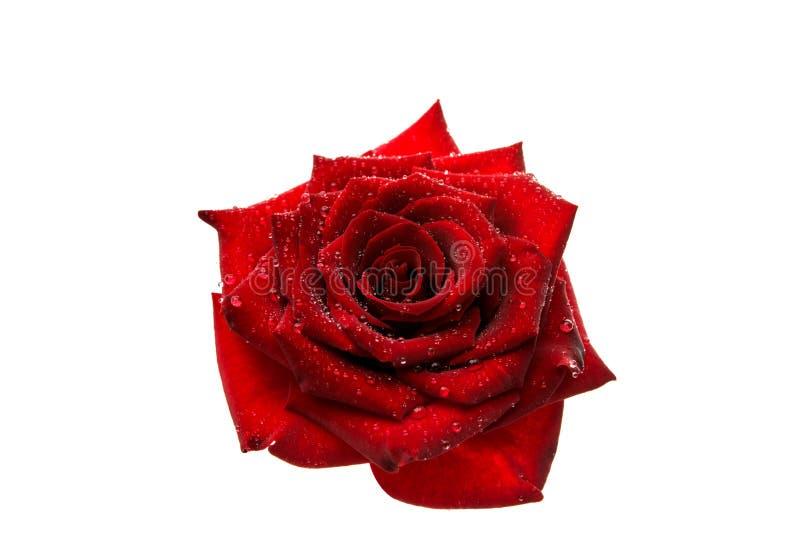 Zmrok - odizolowywająca czerwieni róża zdjęcie royalty free