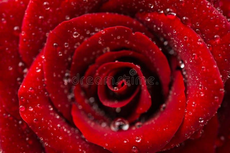 Zmrok - odizolowywająca czerwieni róża zdjęcia royalty free