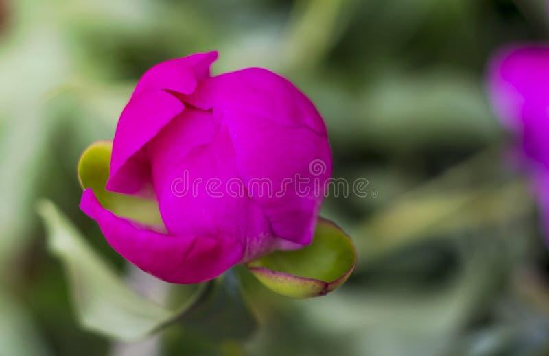 Zmrok peoni kwiatu różowy pączek w ogródzie, obrazy stock