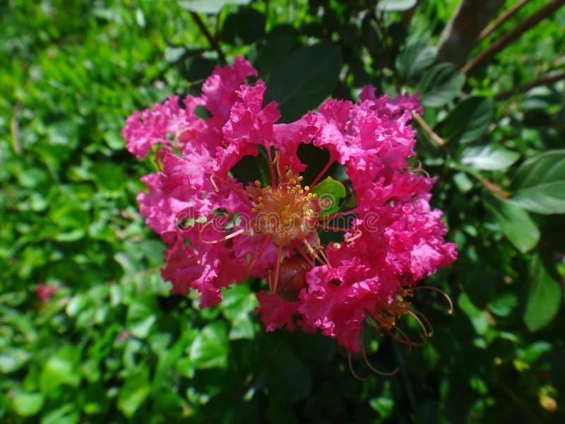 Zmroku crapemyrtle różowy kwiat zdjęcie stock