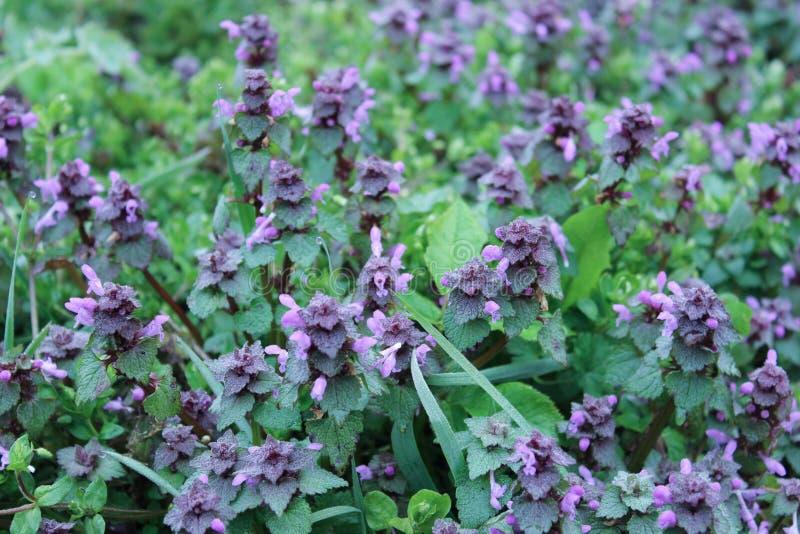 Znakomity purpurowy okwitnięcie Lamium purpureum purpurowa jasnota lub purpura archanioł obrazy royalty free