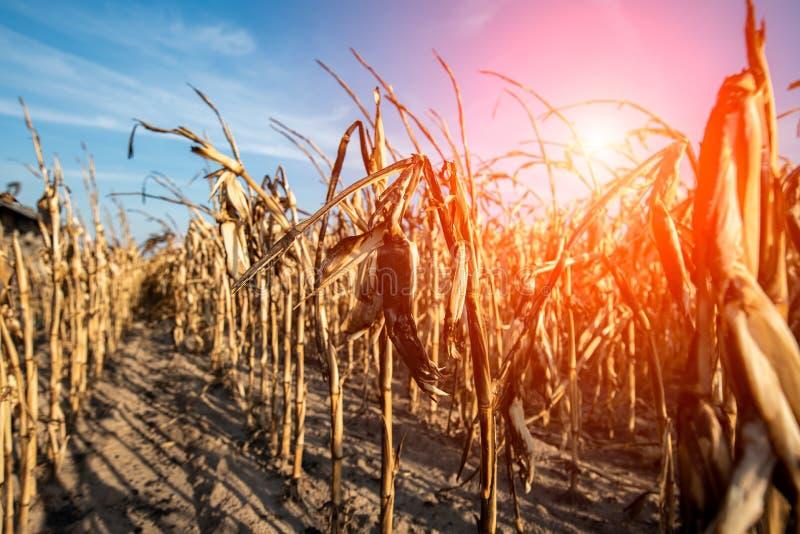 Zniszczony kukurydzany pole fotografia royalty free