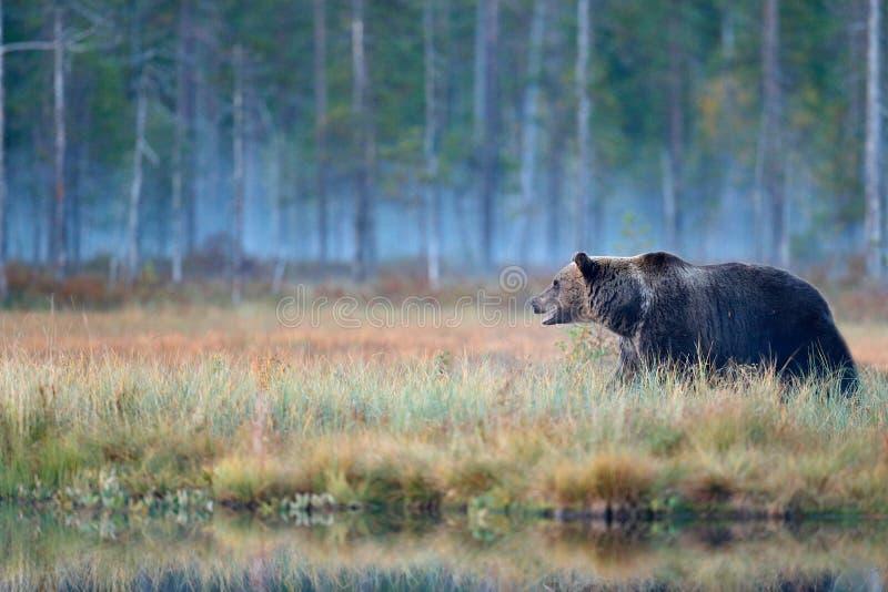 Znosi chowanego w żółtych lasowych jesieni drzewach z niedźwiedziem Piękny brown niedźwiedź chodzi wokoło jeziora z spadków colou obraz royalty free