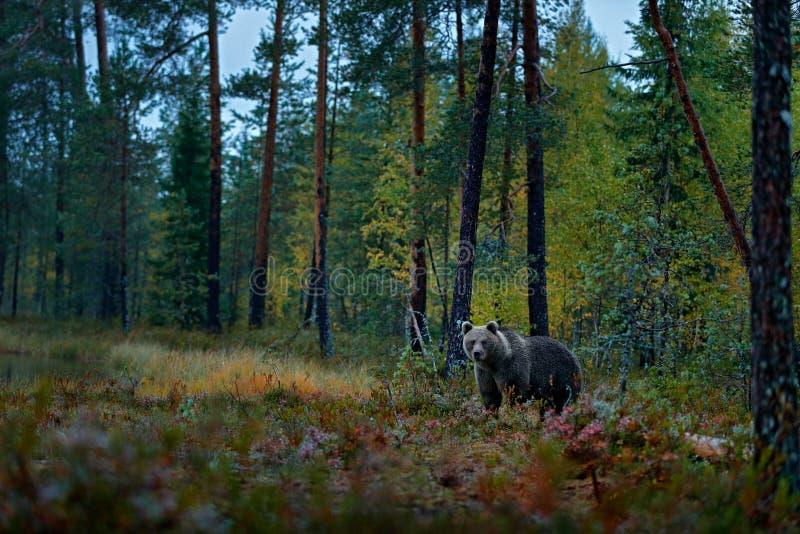 Znosi chowanego w ciemnych lasowych jesieni drzewach z niedźwiedziem Piękny brown niedźwiedź chodzi wokoło jeziora z spadków colo fotografia royalty free