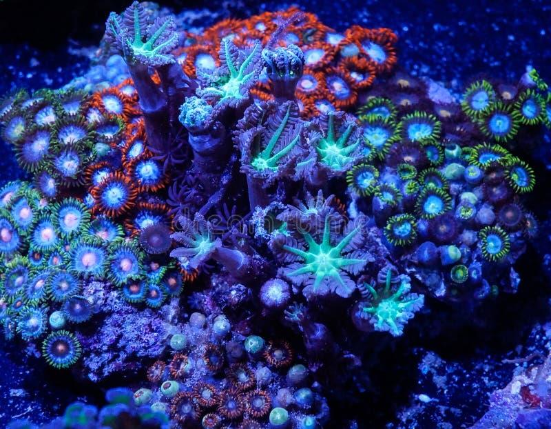 Zoanthid zacht koraal royalty-vrije stock foto's
