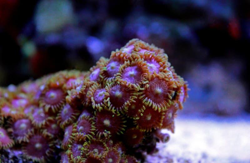 Zoanthus koloni polipy koralowi w rafowym saltwater akwarium zbiorniku fotografia stock