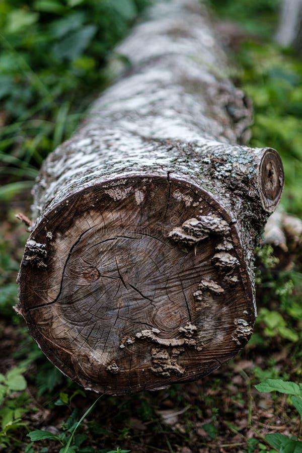 zobaczył rżniętego drzewnego bagażnika z rok pierścionkami i zobaczył pył obrazy stock