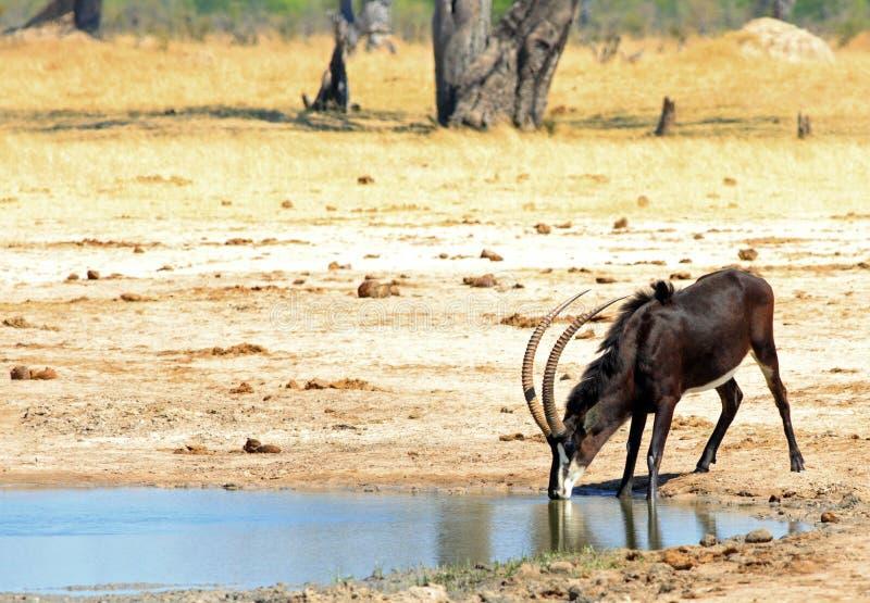 Zobel-Antilope mit gehabt hinunter das Trinken von einem waterhole mit einem natürlichen Ebenenhintergrund lizenzfreie stockfotografie