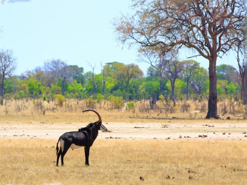 Zobel-Antilopenstellung auf den offenen afrikanischen Ebenen in Nationalpark Hwange, Simbabwe stockbilder