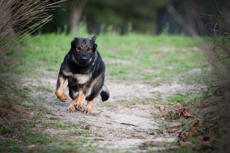 Zobel-Schäferhund stockbilder