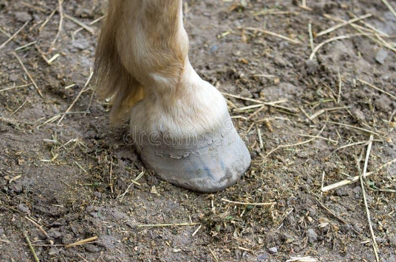 Zoccolo del cavallo fotografie stock