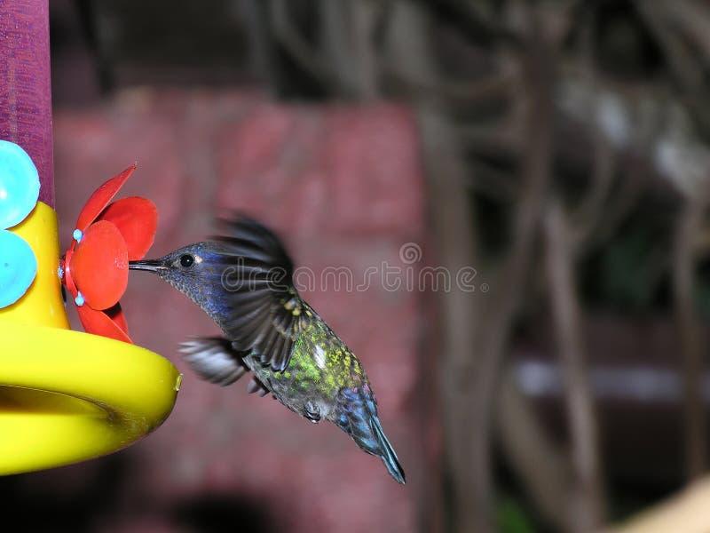 Zoemende vogel bij de voeder royalty-vrije stock afbeelding