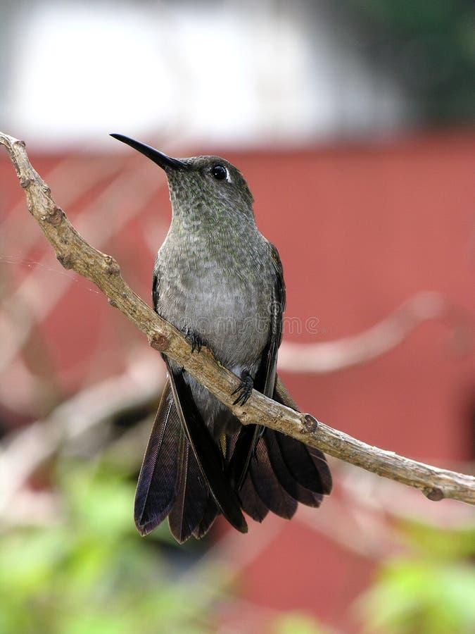 Zoemende vogel onbeweeglijk 7 stock fotografie