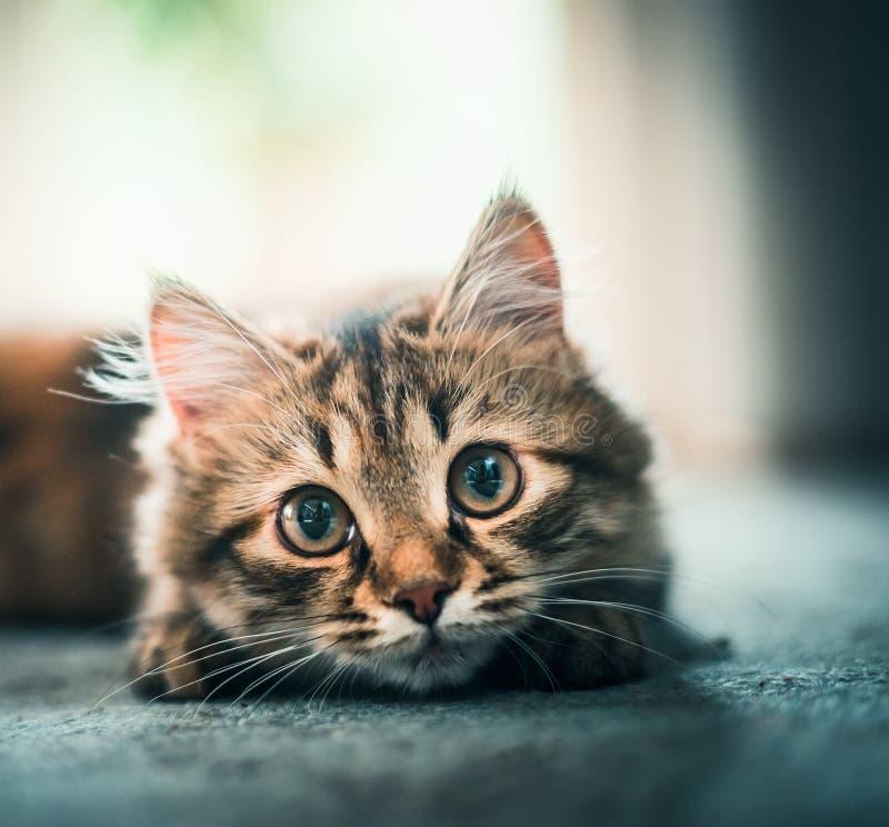 Zoet gezicht van een pluizige kat stock afbeelding