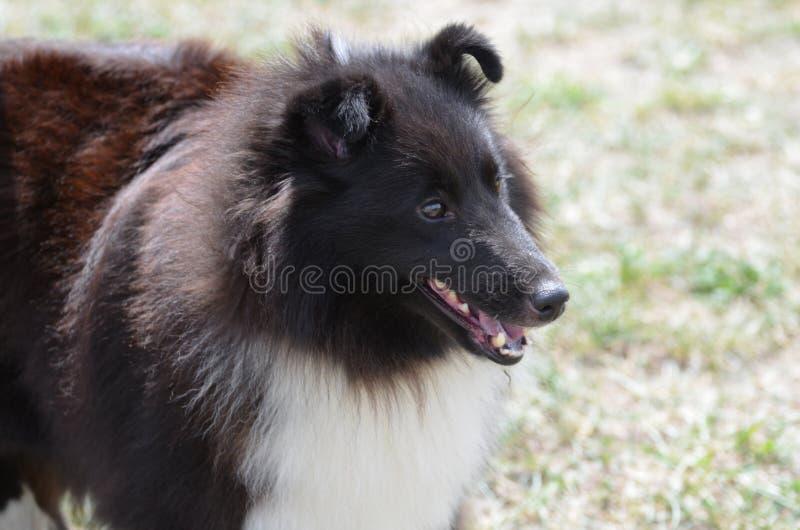 Zoet Gezicht van een Zwart-witte Sheltie-Hond royalty-vrije stock foto's