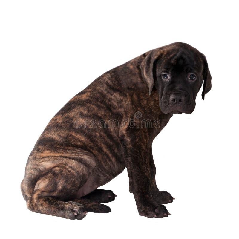 Zoet Labrador puppy royalty-vrije stock foto's