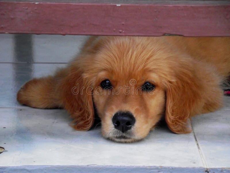 Zoet Puppy stock foto's