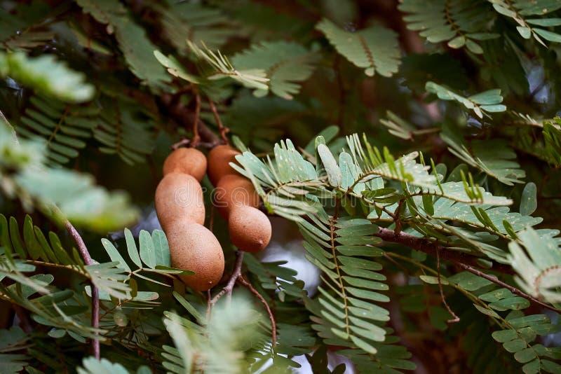 Zoet tamarinde en blad op de boom Het ruwe tamarindefruit hangen op de boom in de tuin met natuurlijke achtergrond royalty-vrije stock afbeeldingen