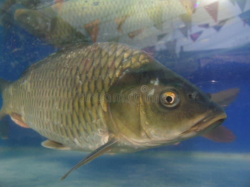 Zoet watervissen (cyprinoid) stock afbeelding