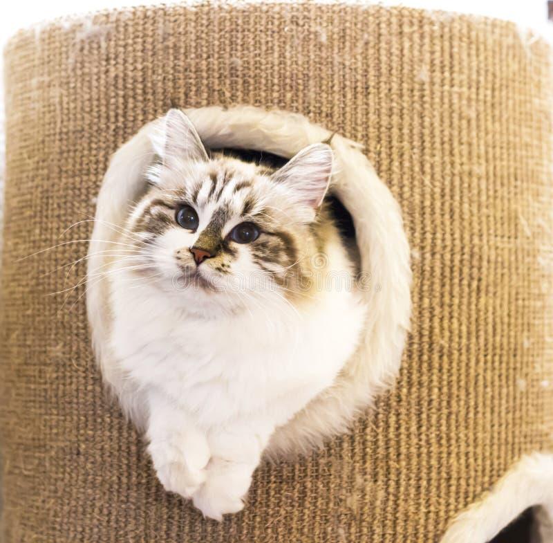 Zoet wit katjes Siberisch ras, de versie van de nevamaskerade royalty-vrije stock fotografie