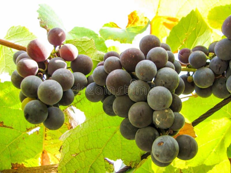 Zoete donkerblauwe druiven op een wijnstok royalty-vrije stock foto's