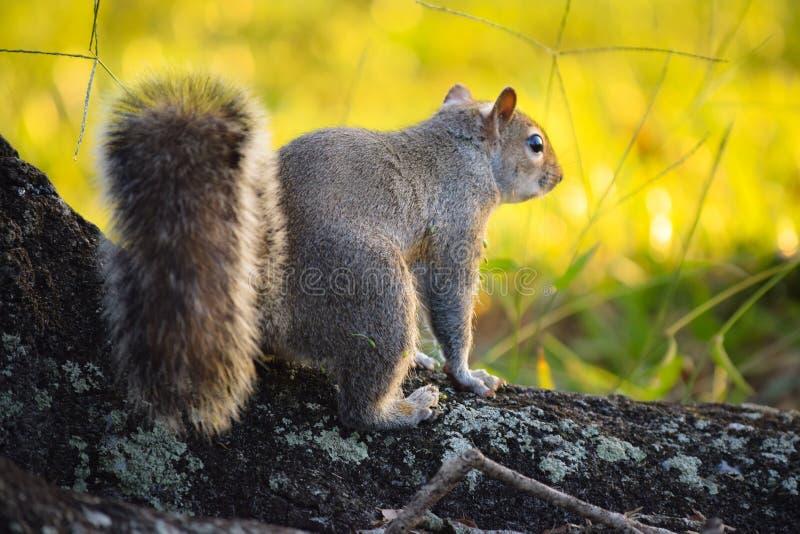 Zoete eekhoorn bij het park stock foto