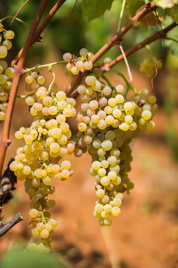 Zoete en smakelijke witte druivenbos, van de wijngaard in Manduria in een de zomer zonnige dag, Salento, Italië royalty-vrije stock afbeelding