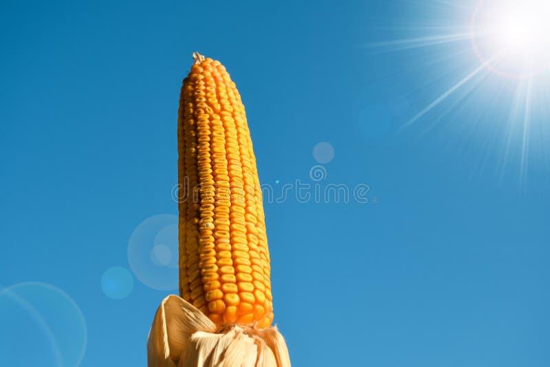 Zoete gele kleuren natuurlijke in de zon gedroogde rijpe die maïskolf op een blauwe hete zonnige de zomerdag wordt geïsoleerd stock fotografie