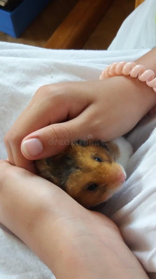 Zoete hamster royalty-vrije stock afbeelding