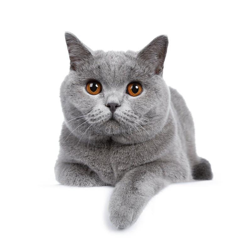 Zoete jonge volwassen stevige blauwe Britse die Shorthair-kat op witte achtergrond wordt geïsoleerd stock afbeeldingen