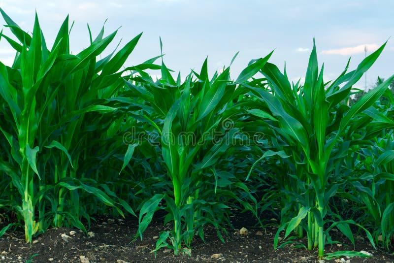 Zoete maïs op landbouwbedrijf en verfrissend natuurlijk met licht royalty-vrije stock foto