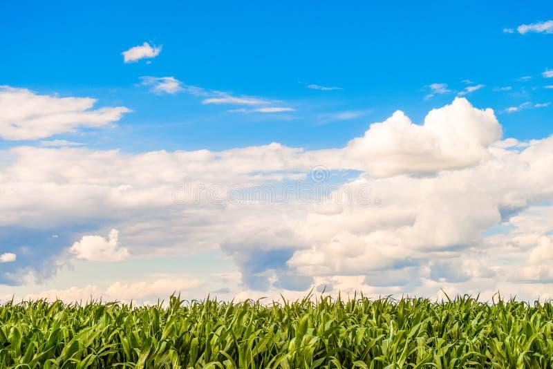 Zoete maïs vlak gebied bij zonnige de zomerdag Graangebladerte onder een heldere bewolkte hemel stock afbeeldingen