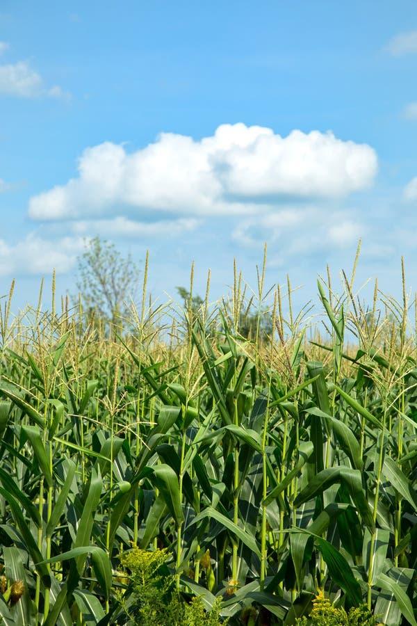 Zoete maïsgebied in blauwe hemel royalty-vrije stock foto's