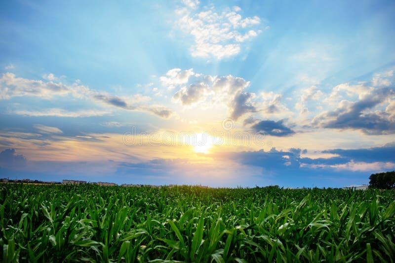 Zoete maïsgebied, blauwe hemel en zon op de zomerdag stock afbeelding