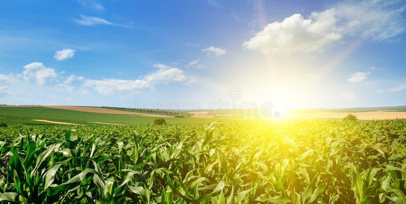 Zoete maïsgebied en heldere zonsopgang op blauwe hemel Brede foto royalty-vrije stock fotografie