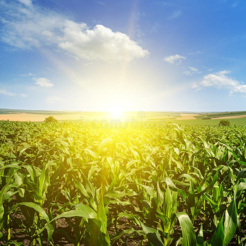 Zoete maïsgebied en heldere zonstijging tegen de blauwe hemel stock afbeelding