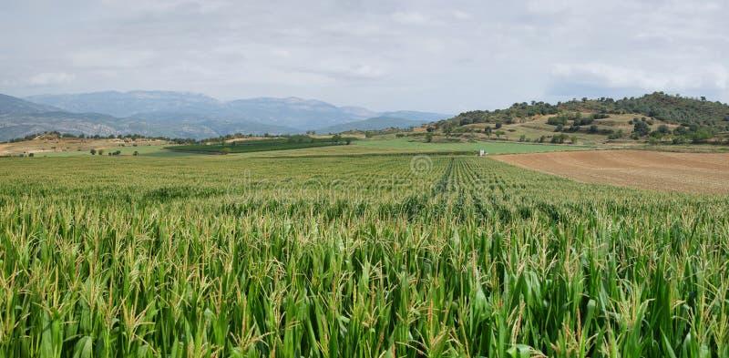 Zoete maïsgebieden in La Noguera royalty-vrije stock afbeeldingen