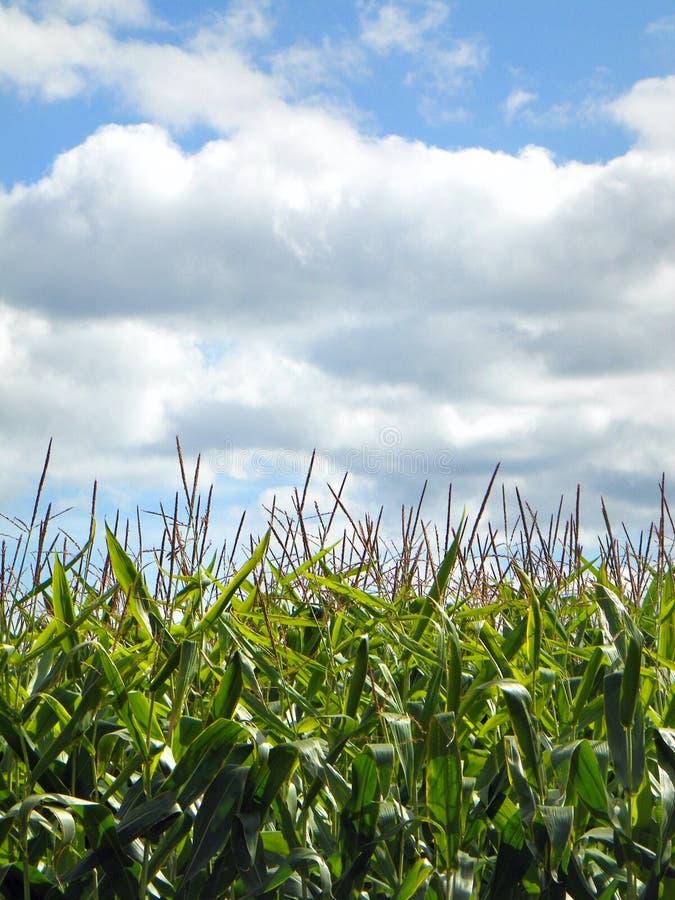 Zoete maïsstelen & leeswijzers, blauwe hemel en witte wolken stock fotografie