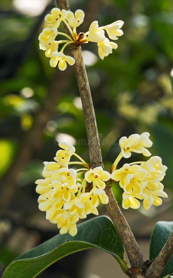 Zoete Osmanthus-bloem royalty-vrije stock foto's