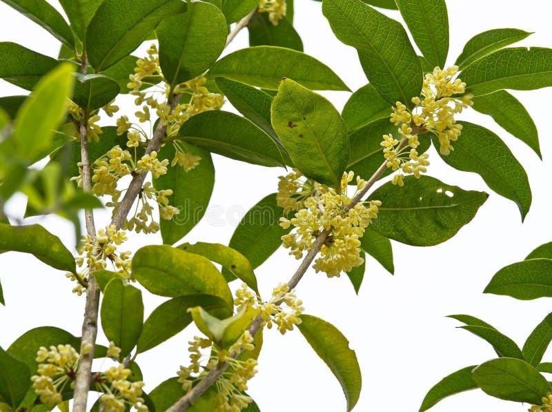 Zoete Osmanthus-bloem royalty-vrije stock afbeeldingen
