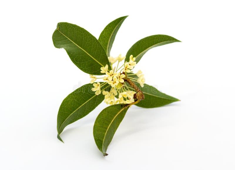 Zoete osmanthusbloemen stock afbeelding