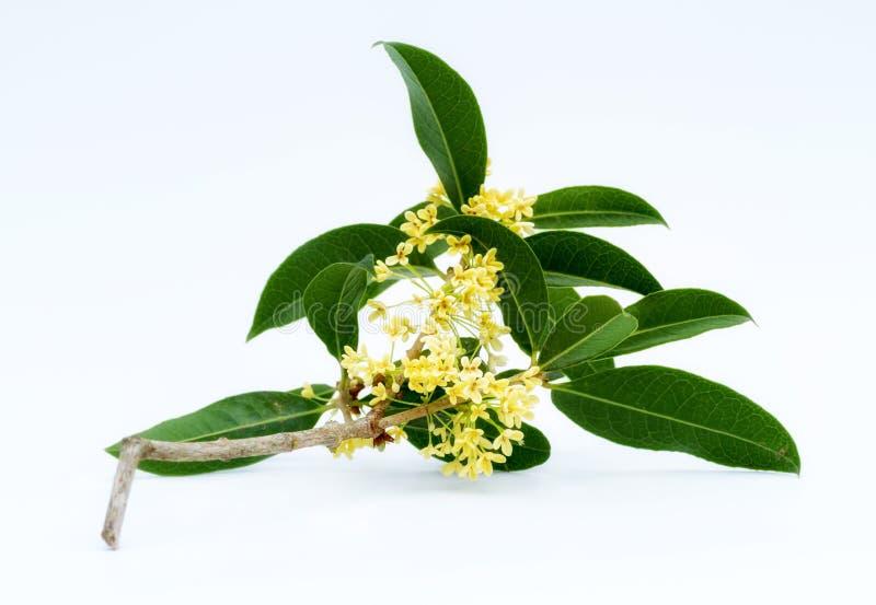 Zoete osmanthusbloemen stock foto's