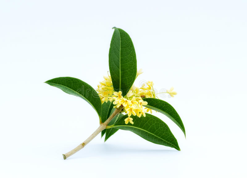 Zoete osmanthusbloemen royalty-vrije stock afbeelding