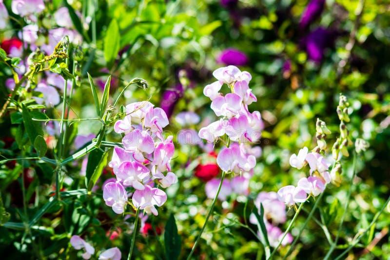 Zoete Pea Flowers Lathyrus-odoratus witte middles die bloemblaadjeranden in de schaduw stellen te doorboren stock afbeelding