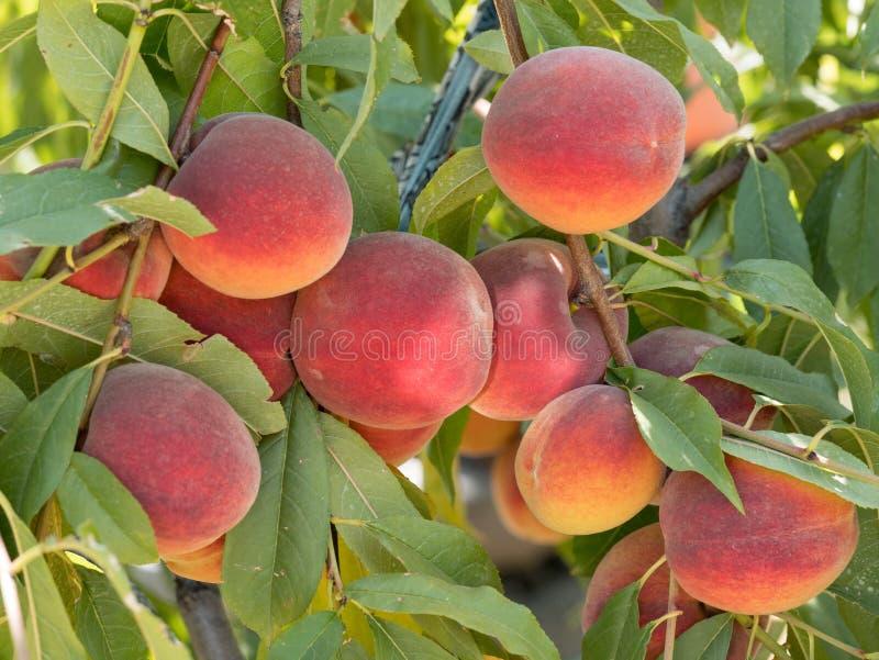 Zoete perzikvruchten die op een perzikboomtak groeien in boomgaard B royalty-vrije stock afbeeldingen